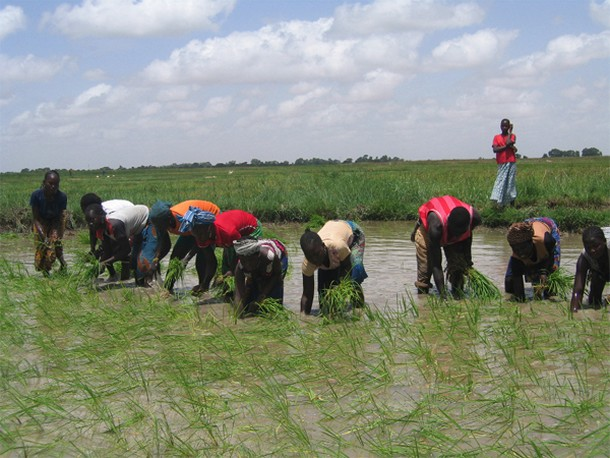 Masina riziculture development project